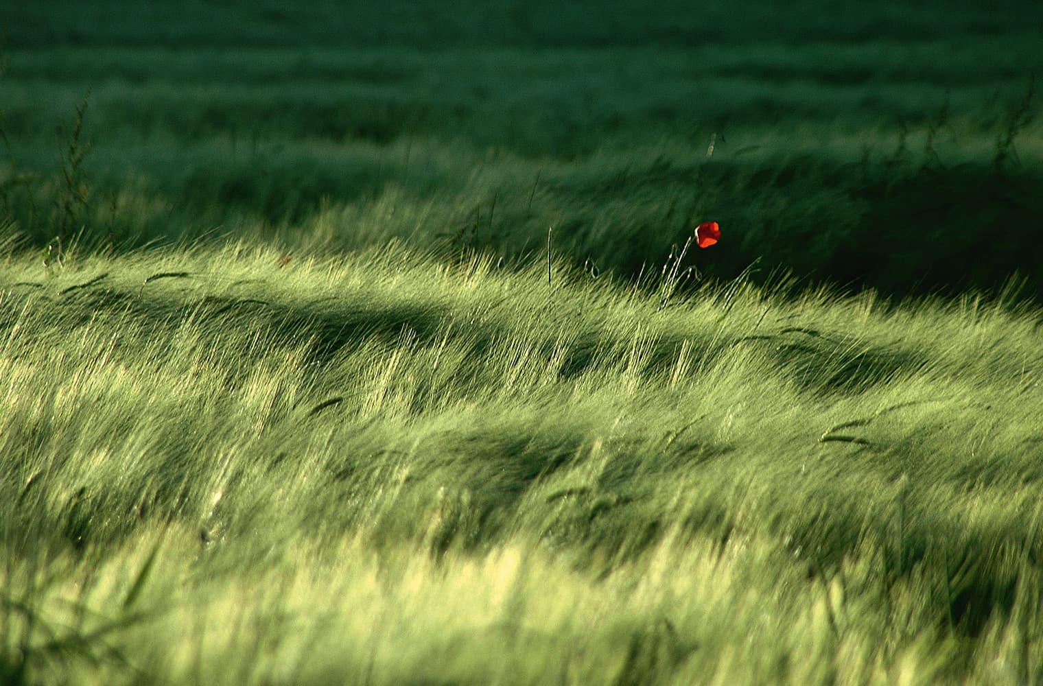 Wild wucherndes, langes Gras – mittendrin eine rote, kräftige Mohnblume.